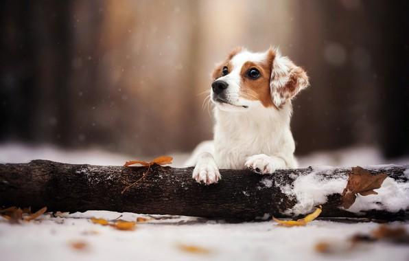 Картинка зима, листья, снег, природа, животное, собака, бревно, пёс