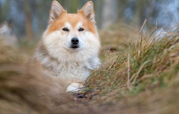 Картинка трава, взгляд, морда, собака, размытость, Исландская овчарка, Исландская собака