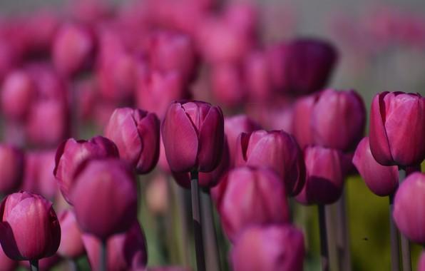 Картинка цветок, цветы, природа, парк, тюльпан, весна, малиновый