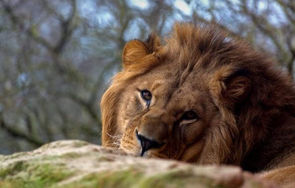 Картинка взгляд, морда, лев, царь зверей, дикая кошка