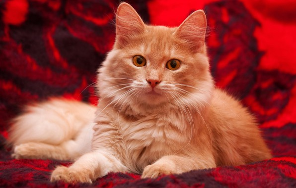 Картинка кошка, кот, взгляд, красный, котенок, фон, пушистый, покрывало, рыжий, лежит, плед, котёнок, желтые глаза