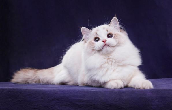 Картинка кошка, белый, кот, взгляд, поза, темный фон, котенок, лапы, пушистый, мордочка, хвост, лежит, окрас, котёнок, …