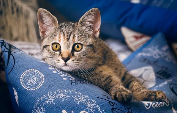 Картинка взгляд, лапки, подушки, мордочка, котёнок