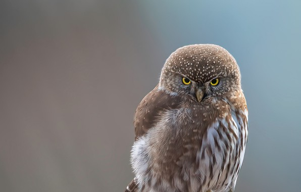 Картинка white, close-up, animals, bird, brown, feathers, macro, blur, animal, look, owl, wildlife, yellow eyes, portrait, …