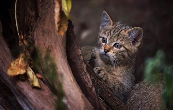 Картинка кошка, взгляд, морда, листья, природа, поза, темный фон, котенок, дерево, лапки, малыш, ствол, кора, котёнок, …