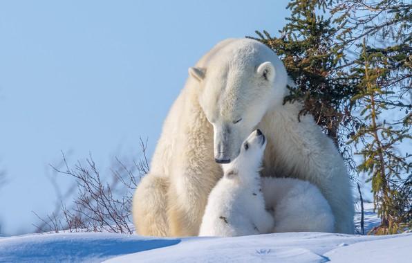 Картинка зима, животные, снег, природа, хищники, медведи, медвежата, ёлки, медведица, детёныши