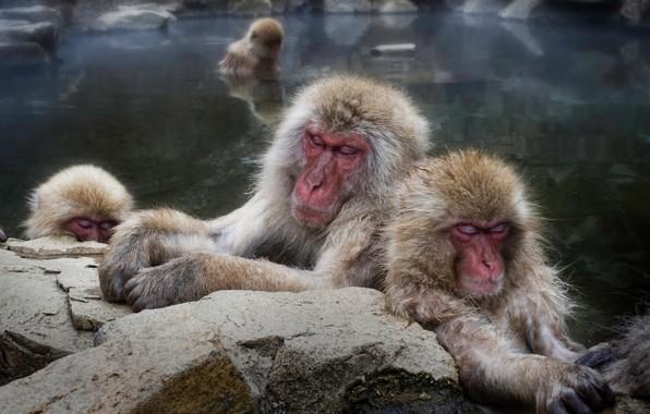 Картинка камни, макаки, отдых, сон, купание, обезьяна, обезьяны, водоем, морды, спят, семейство, японские, японский макак
