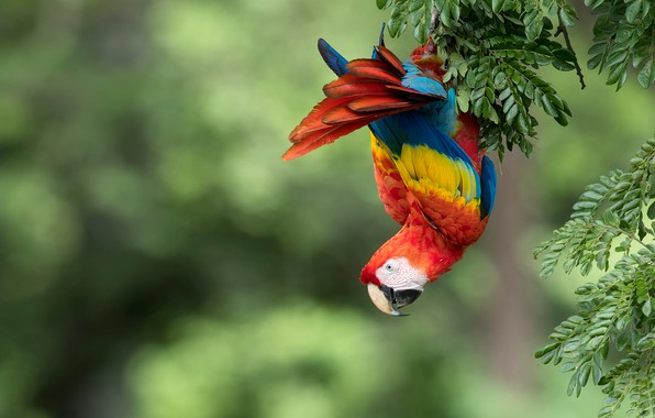 Картинка ветки, фон, птица, попугай, боке, Красный ара