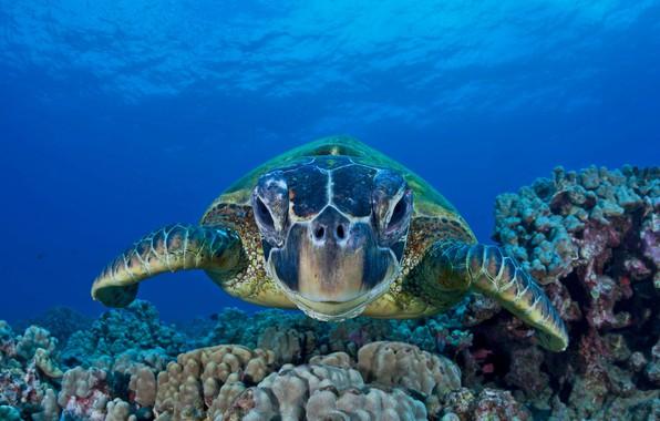 Картинка море, океан, зелёная черепаха