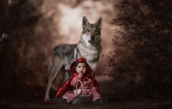 Картинка лес, взгляд, морда, красный, поза, темный фон, серый, настроение, корзина, волк, ребенок, ситуация, собака, капюшон, …