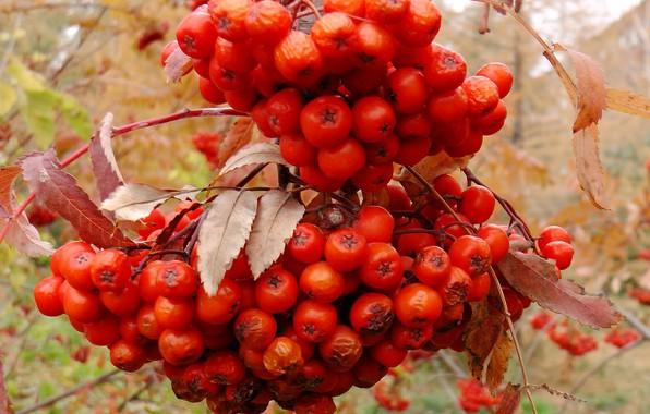 Картинка осень, ягода, кисть, рябина