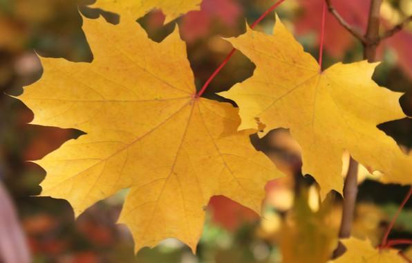Картинка осень, листья, желтые листья, клен, кленовые листья, золотая осень