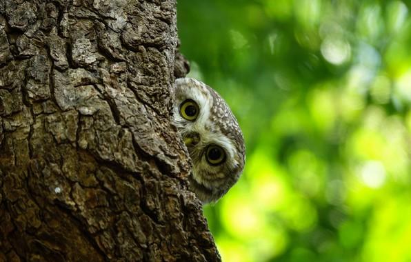 Картинка глаза, дерево, сова, смотрит, боке