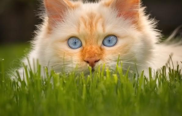 Картинка кошка, трава, взгляд, мордочка, голубые глаза, котейка