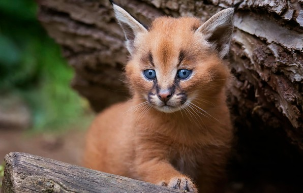 Картинка кошка, взгляд, поза, фон, дерево, портрет, малыш, кора, котёнок, рысь, мордашка, детеныш, дикая кошка, каракал, …