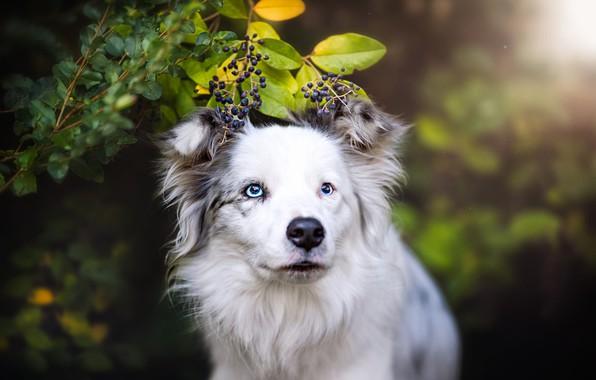 Картинка лето, взгляд, морда, листья, природа, ягоды, фон, портрет, собака, ветка, белая, голубые глаза, боке, бордер-колли, …