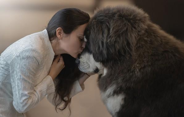 Картинка девушка, друг, чувства, поцелуй, собака, girl, dog, kiss, friend, feelings, тибетский мастиф, Светлана Писарева, tibetan …