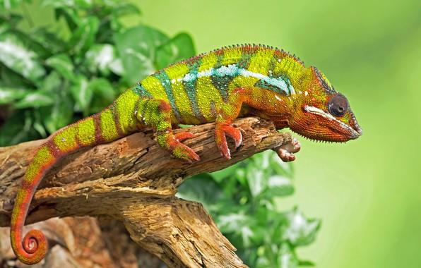 Картинка листья, зеленый, хамелеон, фон, рептилия, сучок