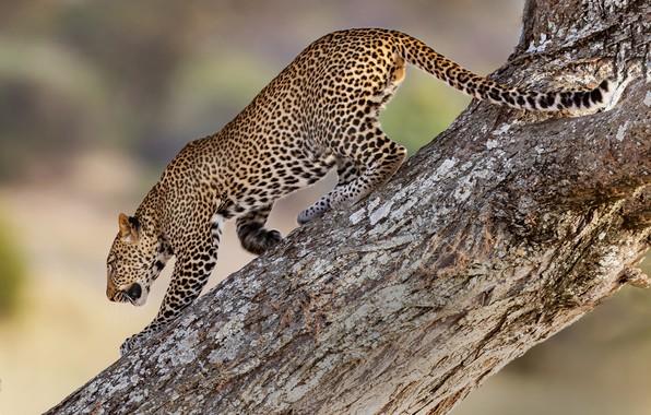 Картинка дерево, хищник, леопард, дикая кошка