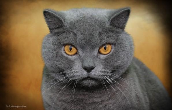 Картинка кот, фон, британец