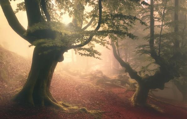 Картинка лес, деревья, туман, дымка, forest, trees, fog, haze, Roberto Rivera
