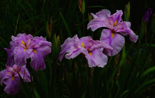 Картинка листья, цветы, темный фон, сад, розовые, ирисы, сиреневые, ирис