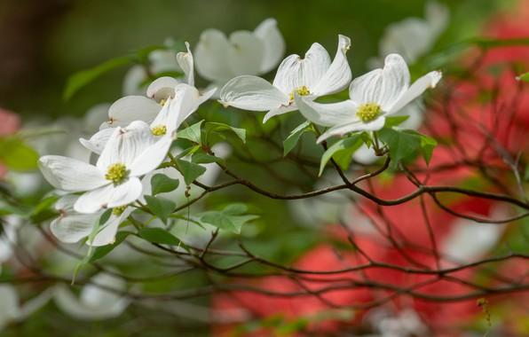 Картинка цветы, ветки, куст, размытие, весна, белые, цветение, боке, кизил