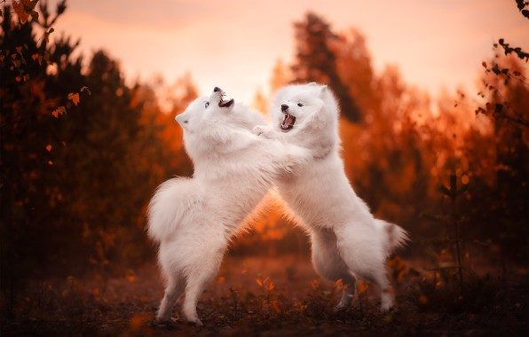 Картинка осень, разборки, боке, две собаки, Самоед