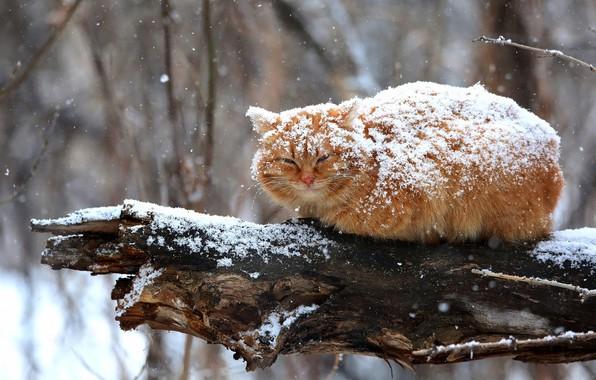 Картинка зима, кошка, кот, взгляд, снег, ветки, природа, поза, дерево, пушистый, рыжий, сидит, снегопад, сук