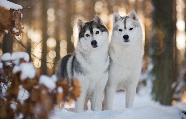 Картинка зима, лес, собаки, глаза, взгляд, листья, свет, снег, ветки, блики, фон, настроение, две, собака, пара, …