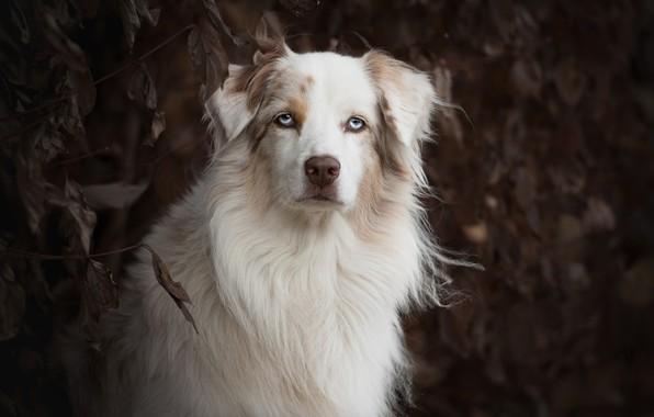 Картинка взгляд, морда, портрет, собака, Австралийская овчарка, Аусси