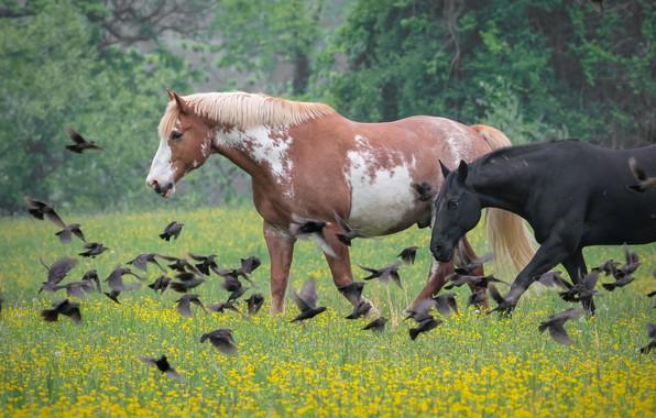 Картинка цветы, птицы, природа, кони, лошади, луг, пара, стая птиц, два коня