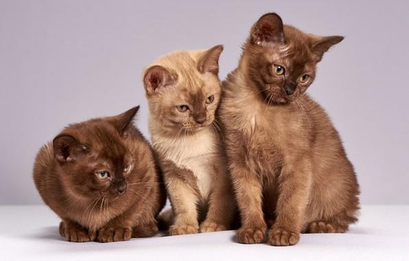 Картинка взгляд, кошки, поза, котенок, фон, светлый, котята, три, котёнок, трио, коричневые, милашки, сидят, шоколадные, британские, …