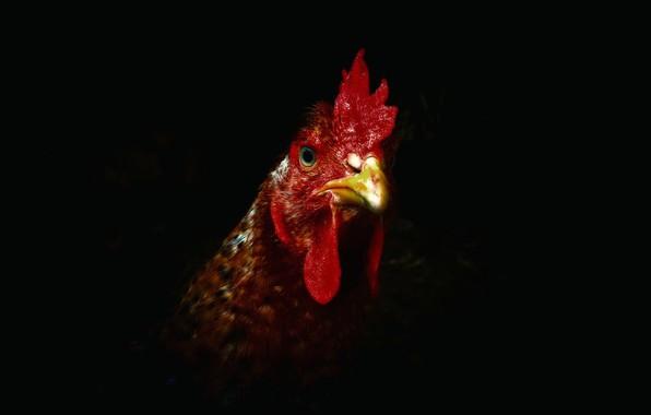 Картинка природа, фон, курица