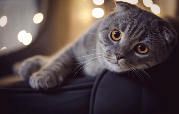 Картинка кот, морда, поза, животное, боке