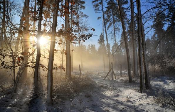 Картинка зима, иней, лес, листья, лучи, свет, снег, деревья, ветки, туман, стволы, утро, мороз, дымка, сосны, …