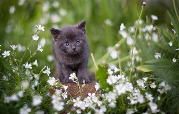 Картинка взгляд, цветы, серый, малыш, котёнок