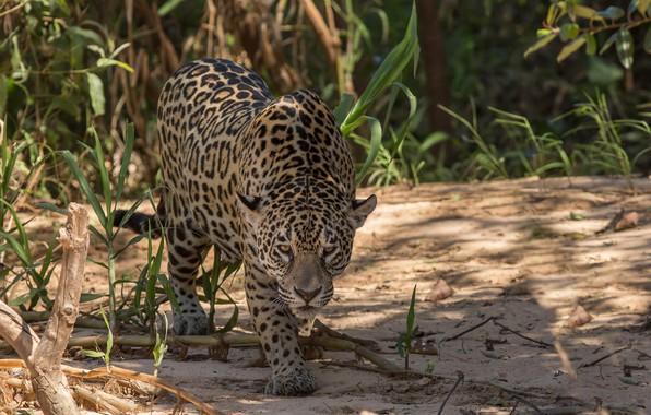 Картинка природа, леопард, большая кошка