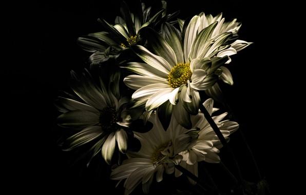 Картинка фото, Цветы, Хризантемы
