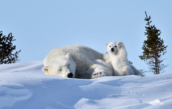 Картинка снег, отдых, медведи, медвежонок, белые, медведица