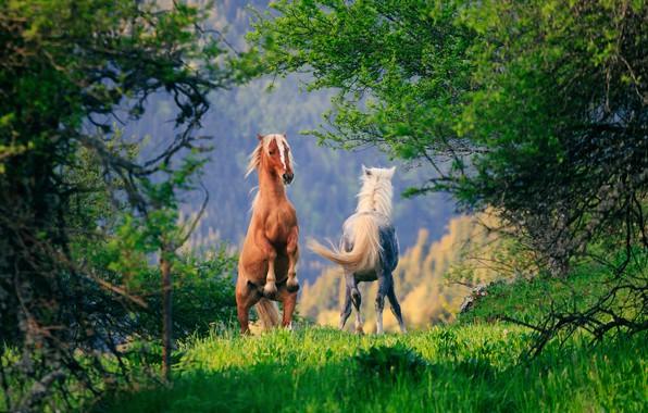 Фото обои лошадь, деревья, конь, пара
