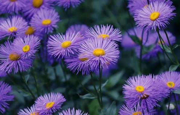 Картинка цветы, фон, куст, сад, много, сиреневые, астры