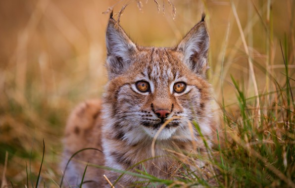 Картинка кошка, трава, глаза, взгляд, котенок, фон, портрет, рыжий, милый, лежит, котёнок, рысь, мордашка, дикая кошка, …