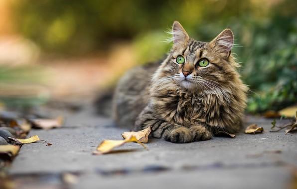 Картинка осень, кошка, кот, взгляд, морда, листья, растительность, плитка, пушистый, дорожка, лежит, листопад, зеленые глаза, боке, …