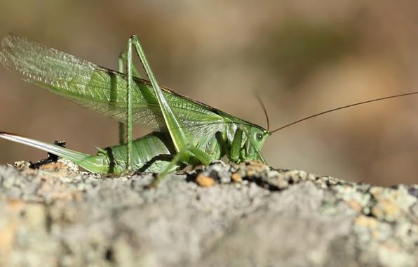 Картинка фон, насекомое, кузнечик, саранча