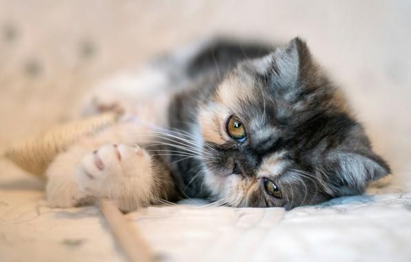 Картинка мордочка, котейка, Экзотическая короткошёрстная кошка