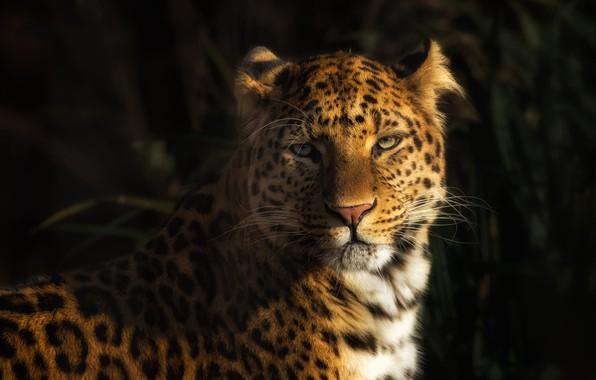 Фото обои взгляд, морда, свет, зеленый, фон, леопард, дикая кошка