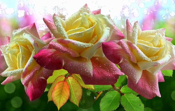 Картинка блики, розы, Цветы, красиво, розовые, супер