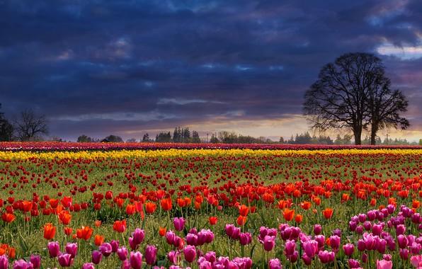 Картинка поле, небо, деревья, цветы, тучи, полосы, поляна, весна, тюльпаны, разноцветные, разные, ряды, плантация, грозовые, тюльпановое …