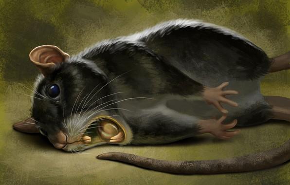 Картинка Черная, грызун, Хвост, Крыса